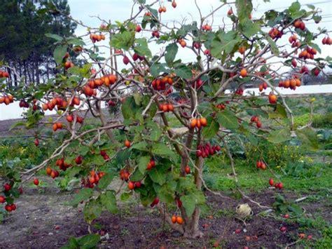 Bibit Tanaman Terong Belanda cara menanam terong belanda dengan mudah serta hasil panen