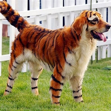 tiger golden retriever anderledes sjove klip hundesalon viborg skive