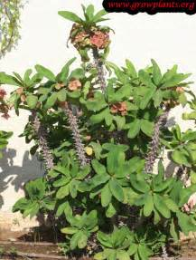 euphorbia milii growing grow plants