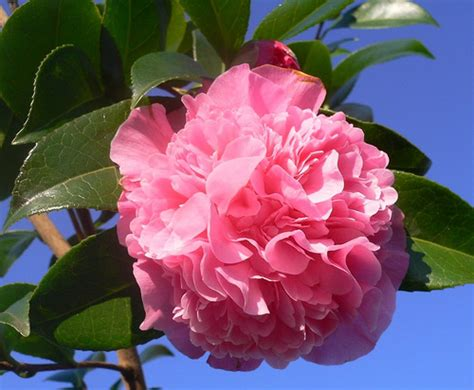 camelia rosa camellia the camellias is a genus of flower flickr
