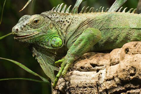 Iguana L iguana wikip 233 dia