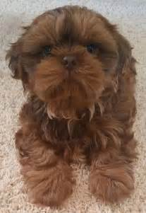 ridge shih tzu 903 best shih tzu pictures images on dogs shih tzus and adorable