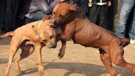 dogs fighting dogs are forced to fight to the in china shocking moment