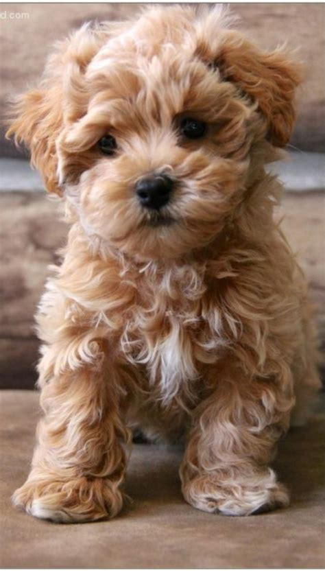 maltipoo puppies best 25 maltipoo puppies ideas on maltipoo teacup maltipoo and