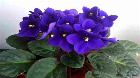 plantas florales de interior plantas de interior con flores coloridas