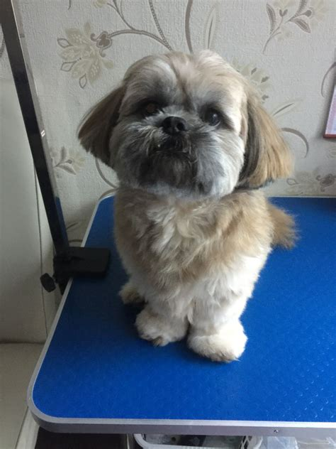shih tzu puppies for sale west midlands shih tzu puppies for sale wednesbury west midlands pets4homes
