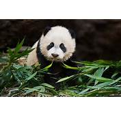 Cute Panda Bear Eating Bamboo Bears Pictures And