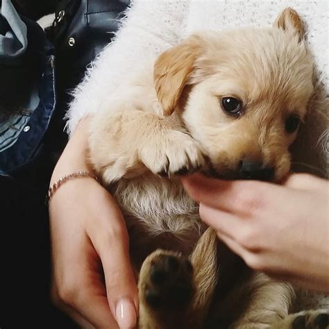 golden retriever protects baby 1000 ideas about golden retrievers on golden retriever puppies dogs