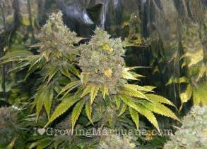 Marijuana grow journal precious