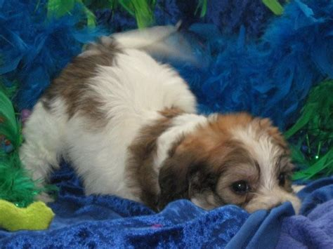 century farms puppies apricot white tri colored cavachon puppies century farm puppies