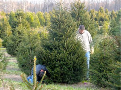 where are the christmas tree farms here s a list