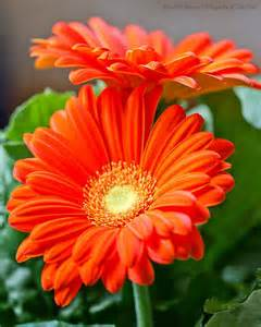what color are daisies 25 best ideas about orange flowers on
