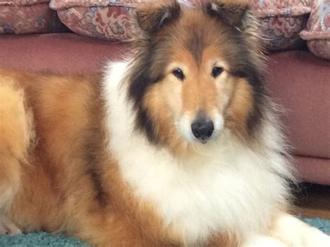 collie for sale 2 collies for sale stirling stirlingshire pets4homes