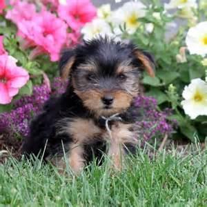 yorkies craigslist yorkie puppies for sale in craigslist breeds picture breeds picture
