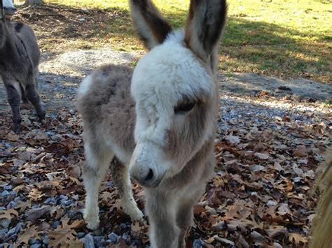Burro Animal by 11 Donkeys Who Prove They Re Secretly The Cutest Animal