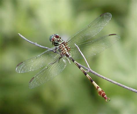 dragonflies of texas williamson county odonata digital