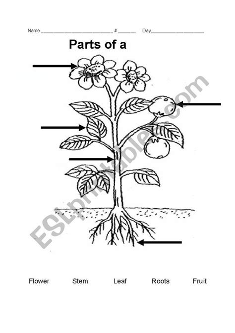 Parts of a plant - ESL worksheet by teacher_rainbow in