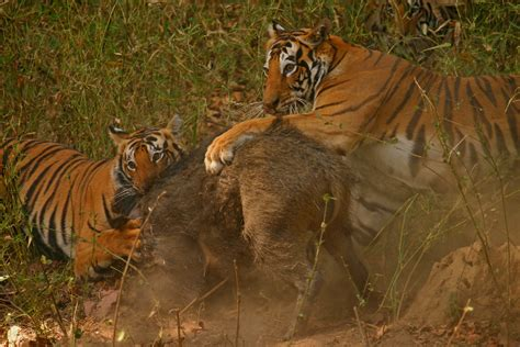 Essay On Tigers In India by Pigs In Popular Culture Autos Post