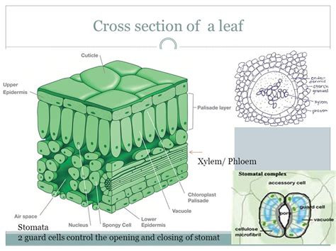 cross section of a leaf parts and functions leaf structure mineral requirements ppt video online