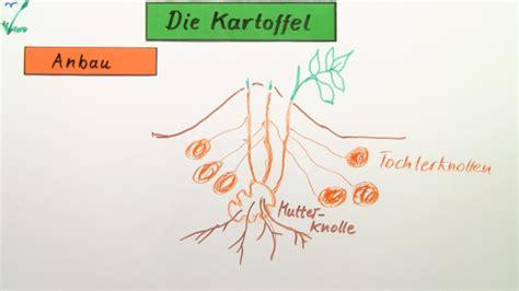 Beschriftung Kartoffelpflanze by Die Kartoffel Biologie Online Lernen