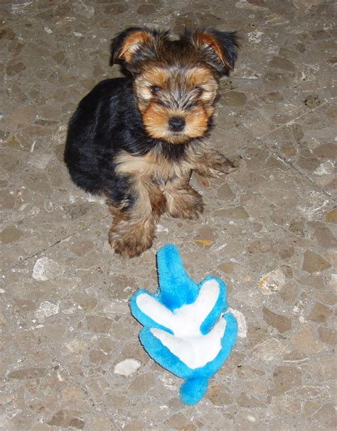 what is a morkie puppy the gallery for gt morkie dogs