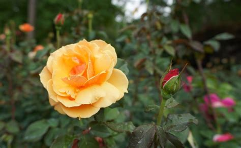 how to care for roses homey improvements