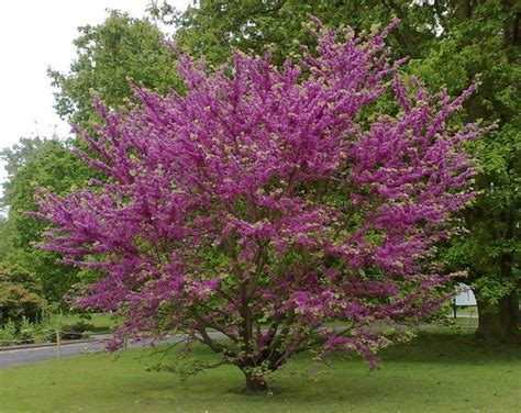 23 best images about cercis siliquastrum on pinterest