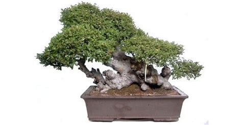 vasi bonsai fai da te bonsai 10 consigli per principianti greenme