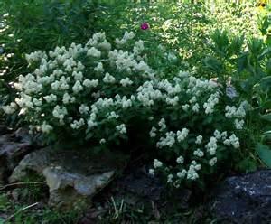 ceanothus americanus new jersey tea seed and plants