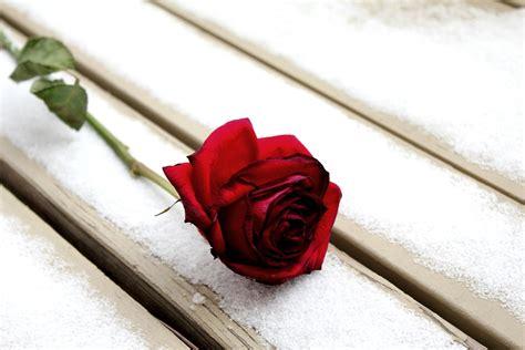 fiore neve foto gratis inverno neve fiore immagine