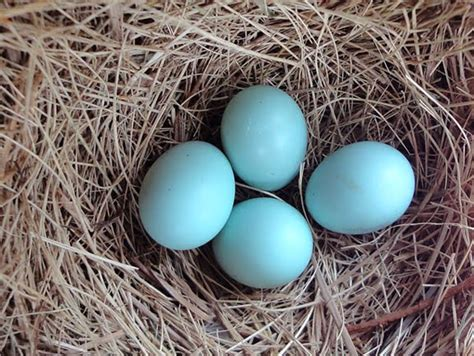 hybrid birder eastern bluebird egg color
