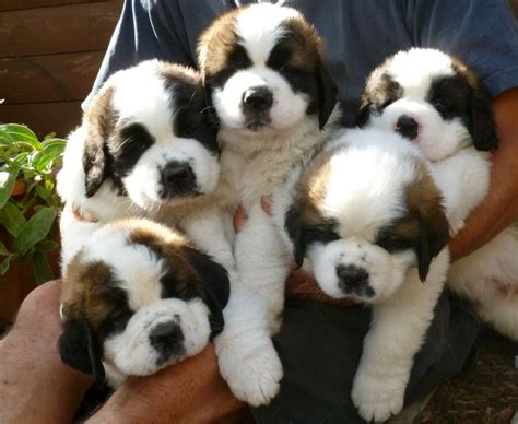 st bernard puppy for sale beautiful coated kc reg st bernard pups ross on wye herefordshire