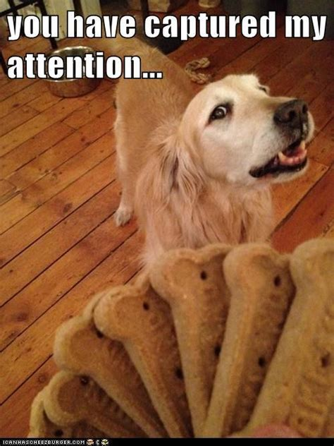 golden retriever pups good  memes   fur balls
