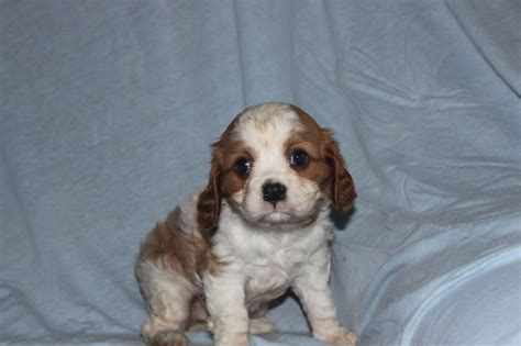 king charles cavalier puppies for sale in pa pin by network34 on cavalier king charles puppies for sale pint