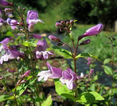 Winterharte Stauden Lila by Pflanzen Vielfalt Der Saatgut Shop Stauden Samen Beet