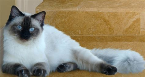 ragdoll pose with tips a ragdoll cat pets world