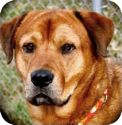 rottweiler and golden retriever mix adopted 1928213 new richmond wi golden retriever rottweiler mix