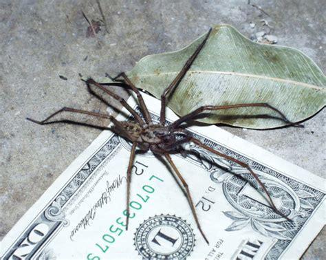 giant house spider giant house spider spider bite treatment