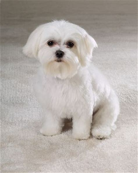what is the best cut for a malti poo pin maltese haircut styles best haircuts and hairstyles
