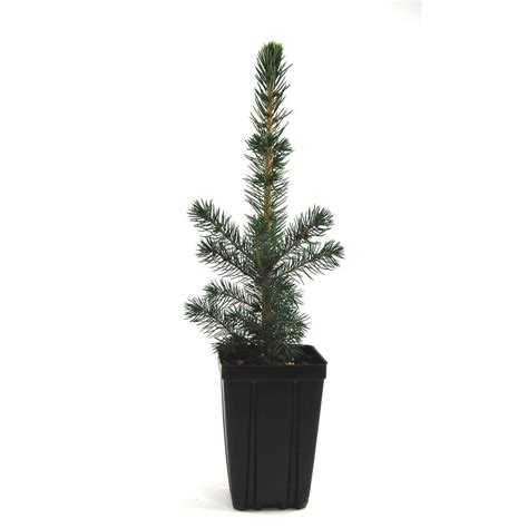 evergreen nursery black hills spruce potted evergreen tree