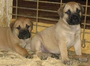 free puppies in des moines iowa dogs west des moines ia free classified ads