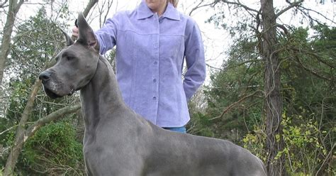 7 Sincere Answers Of Great Immoralmatriarch by About Great Dane Your Great Dane To Listen