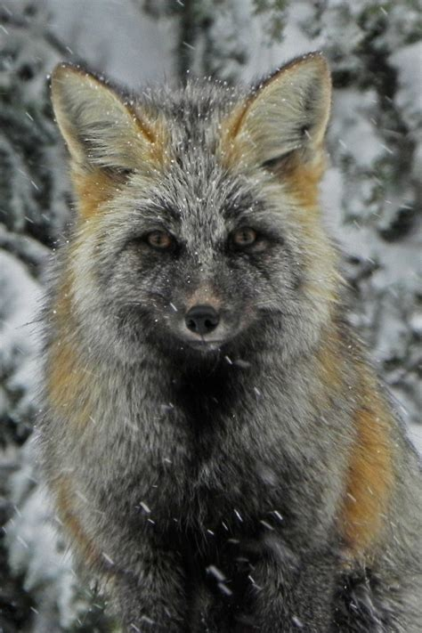 cascade fox shutterbug