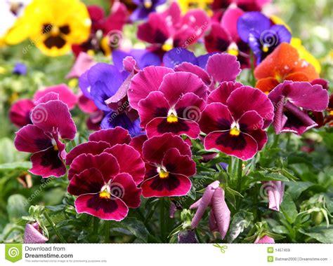 imagenes de flores multicolores pensamiento multicolor im 225 genes de archivo libres de