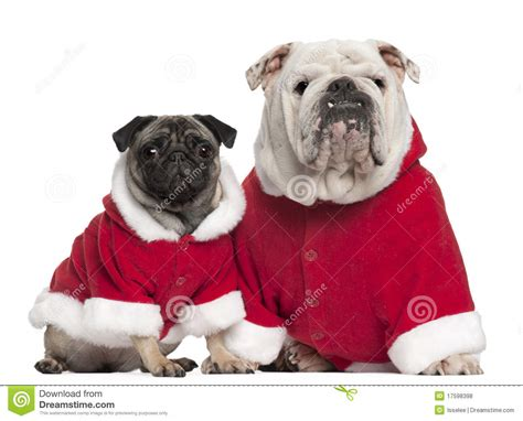 bull and pug bulldog and pug wearing santa royalty free stock photos image 17598398