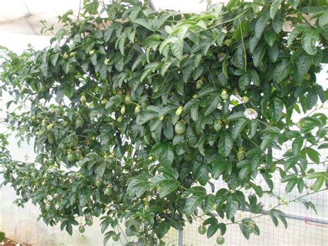fruit vines passionfruit black vine passiflora edulis