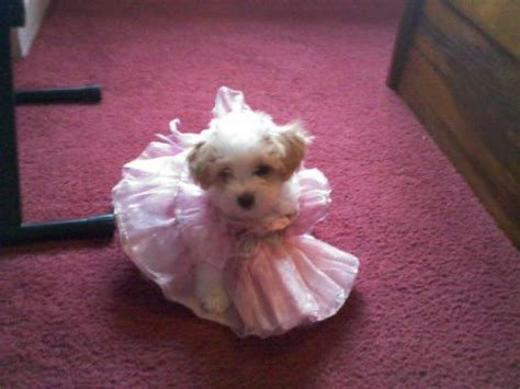 princess puppies maltipoo princess puppy pictures daily