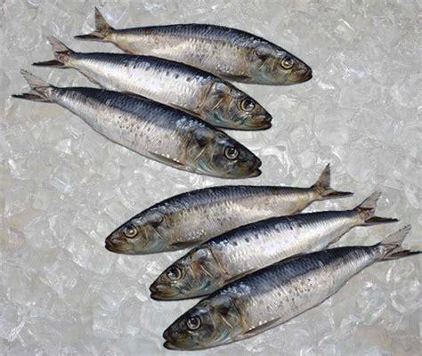 Sarden Mackerel Botan A1 2 seafood fish sardine atlantic theodore