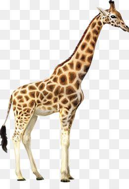 giraffe png giraffe transparent clipart