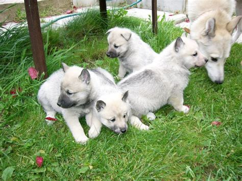 how to determine breed how to determine the purity of the breed of the puppy huskies what commands should